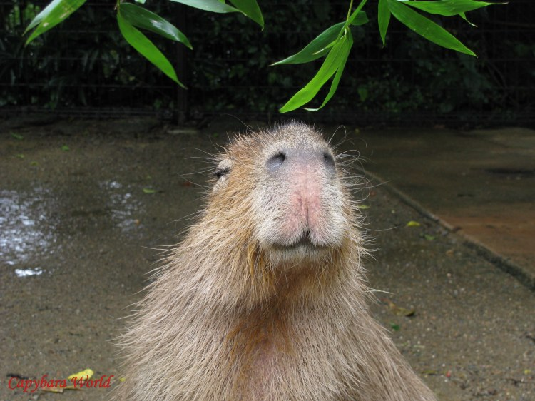 I love that smile. Donguri has the most beautiful smile of any capybara I've ever met.