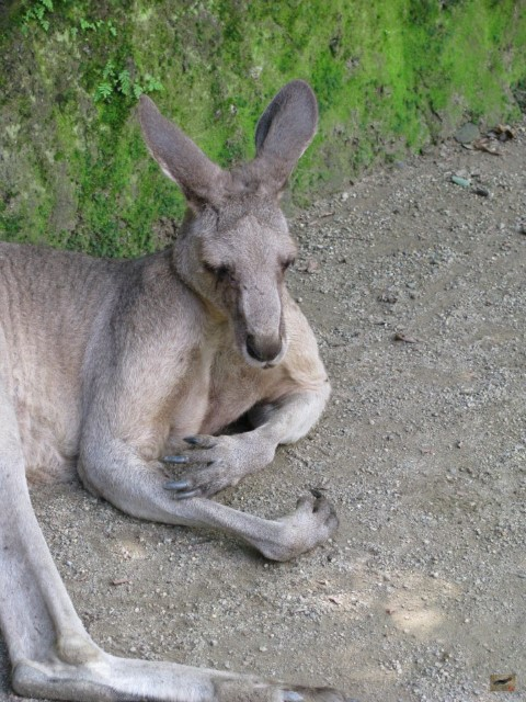 A Wallaby at Nagasaki Bio Park. I was surprised how soft their fur is. You can mingle in their enclosure and pet them