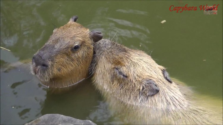 Donguri, the most sweet and caring of the incredibly gentle capybaras at Nagasaki Bio Park, kisses her baby son Io. She stayed like this for some time, with her lips pressed affectionately to Io's neck. They then play together and he nuzzled her and she nuzzled him. It was really heartwarming to behold