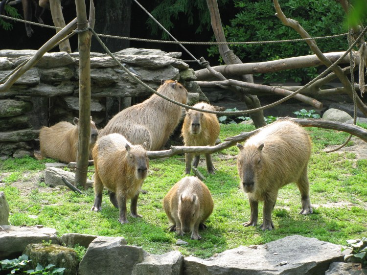 In the Wild a Capybara Would Never be Alone, he or she would always be Surrounded by the Herd. Here you can see some of the Capybaras at Nagasaki Bio Park. No Human could give their Pet Capybara the Pleasure and Security that their Herd of Capybaras Provides