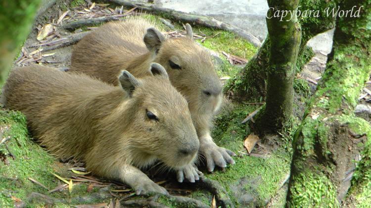 Macaroni and Doughnut, baby capybaras