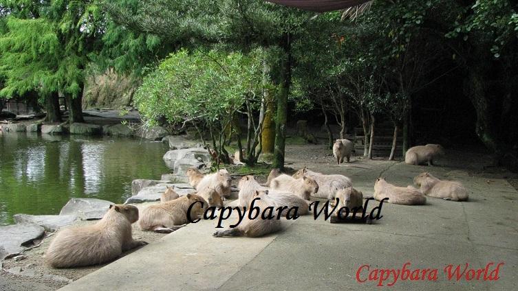 NWN capybaras waiting for breakfast