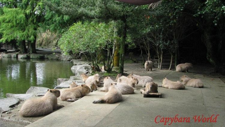Capybaras sleeping waiting for breakfast. 長崎バイオパークで眠るカピバラ。ミドル、リアビューでどんぐり