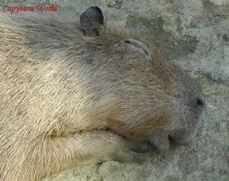 The most interesting capybara I have ever met. I love the way her bottom lip is hanging down as she dreams