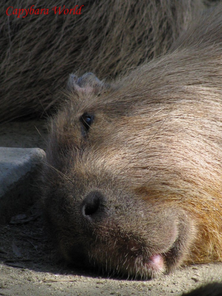 Yasushi.   He often looked worried and pensive. He was very protective of his herd of capybaras