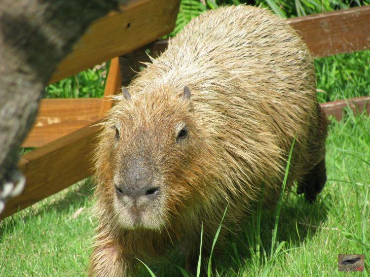 Aki Escapes from the Capybara Enclosure and Sets Off on her Great Advanture エンクロージャカピバラからの脱出。オフ偉大な冒険へ Aki Was a Very Beautiful Capybara. アキはとても美しいカピバラだった。