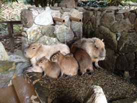 Aki's Babies. They are being bottle fed, and are staying with Fujiko and her 2 babies. (Bio park photo)   アキの赤ちゃん。 In the Onsen with grandmother Donguri
