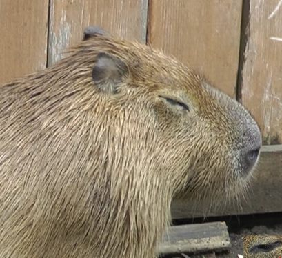 A face to die for. Sweet Vulnerable Garibaldi Rous