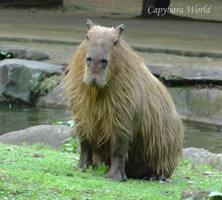 "Yasushi was the most wonderful capybara with his gentle, sensuous disposition and his beautiful long hair. I wanted to ""buy"" so his genes could live on as the foundation for a new herd. He was very paternalistic, always concerned when one of his herd escaped from the enclosure. He would walk along the perimeter fence, staying as close to the escapees as he could, with a very worried look on his face. Yasushi loved to be petted. I used to sing to him as I rubbed his ears, which he adored, and he seemed to appreciate it!"