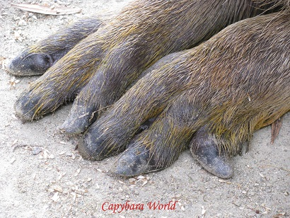 It is very easy to recognise Donguri – the claw on the extreme left of her left front foot is bent round. I would recognise her anywhere by her eyes. どんぐりを認識するのは非常に簡単。フロント左足。つま先が丸いカール。私は彼女の目を認識する。