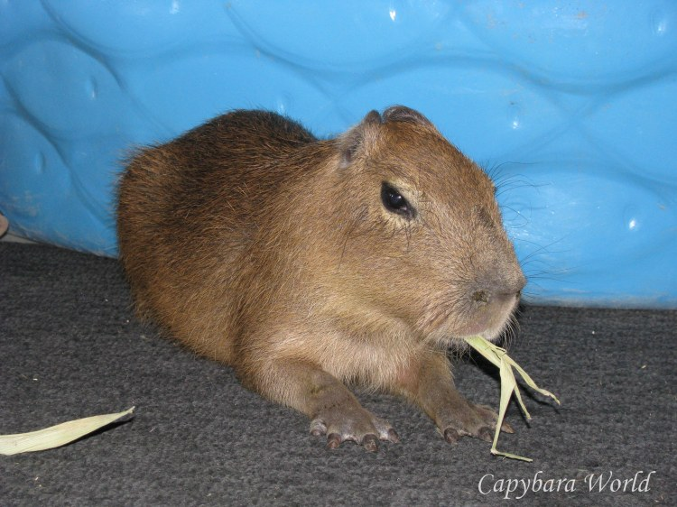 Adora eating a corn husk