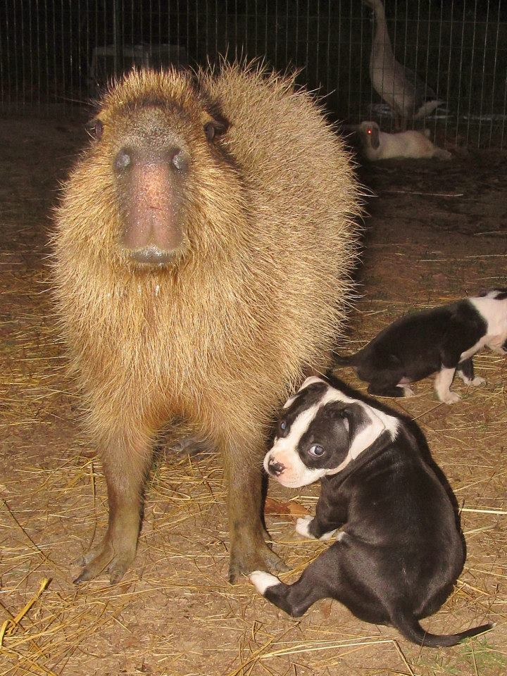 Cheesecake has achieved worldwide fame by being foster mother to many many abandoned and orphaned puppies. She is a fantastic capybara