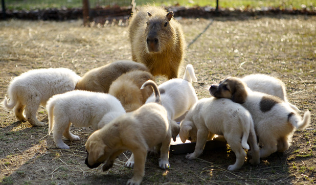 Cheesecake has achieved worldwide fame by being foster mother to many many, abandoned and orphaned puppies. She is a fantastic capybara