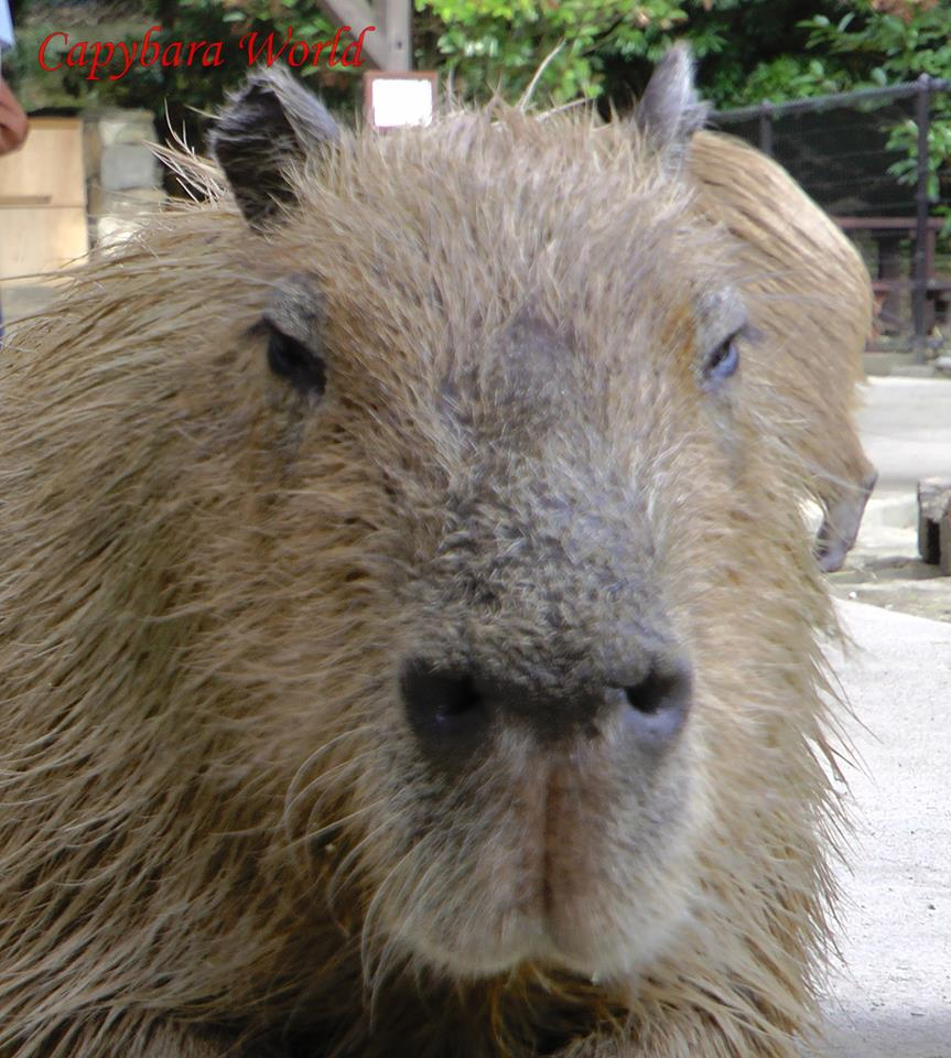 Donguri. Leader of the herd at Nagasaki Bio Park. The seventh oldest capybara in Japan