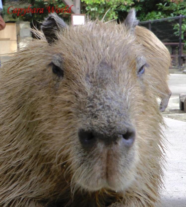 Donguri. Leader of the herd at Nagasaki Bio Park. The seventh oldest capybara in Japan