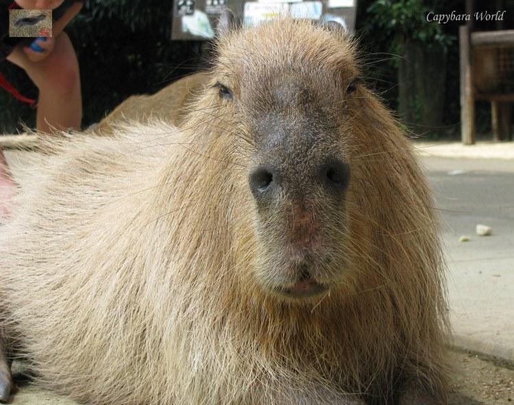 Magnificent, Sensuous Yasushi. A King amongst Capybaras 壮大な、感覚的なやすし。カピバラの中の王