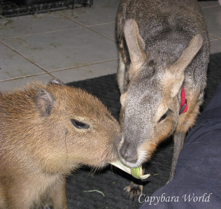 Baby capybara and young Mara share a corn husk