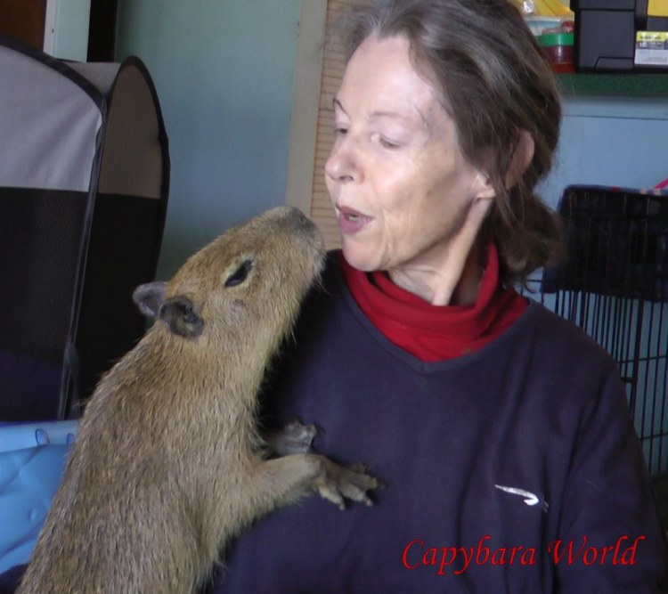 Addy is about to kiss me. Focus on the beautiful young baby capybara and not on the ugly old human