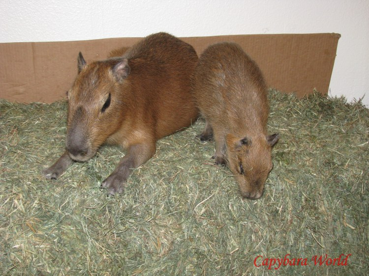 Romeo and Tuff'n Feasting on their Bale of Hay