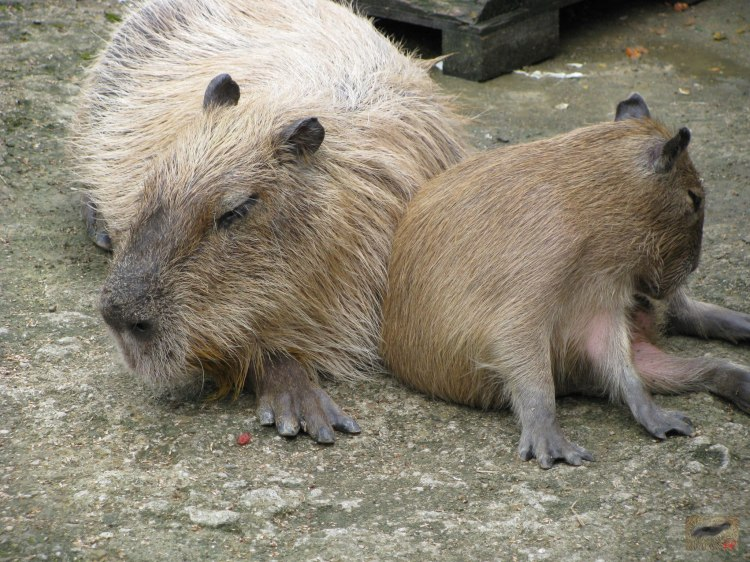 Mummy and Baby Capybara, Donguri and Io. Io is eating his cecotropes ミイラと赤ちゃんカピバラ。どんぐりとイオ。 Ioは彼のcecotropesを食べている