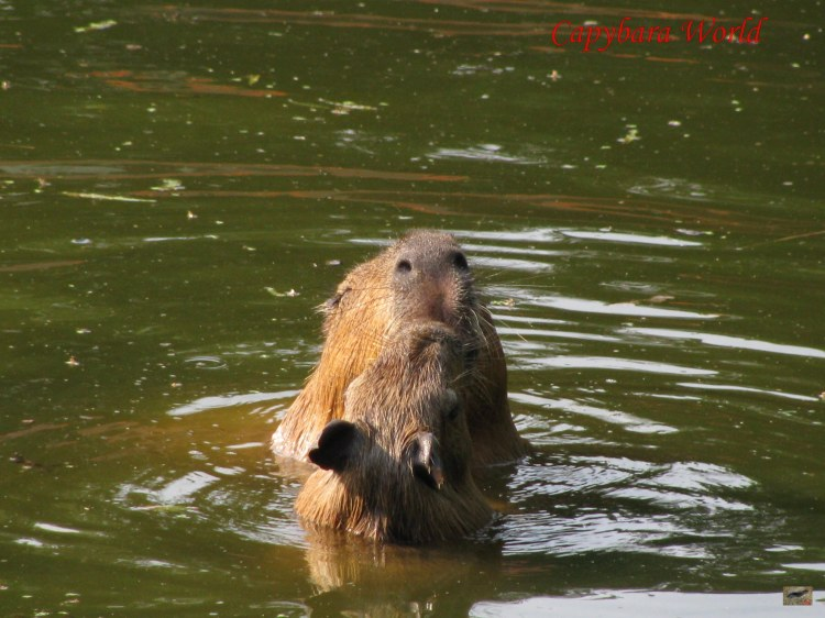 You Must also Provide a LargePpool for the Capybara to Swim In