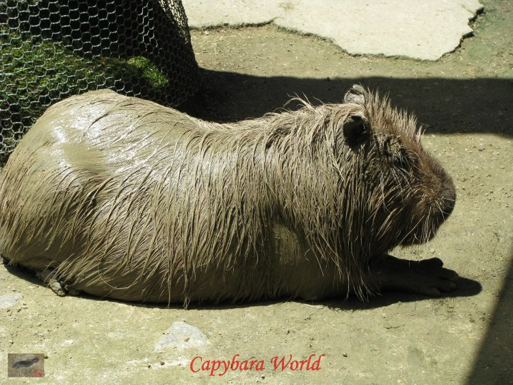 Capybaras love to Roll in the Mud. They then often twander surreptitiously inside the house; of course the mud comes in with them and paints a pretty scene around the house!