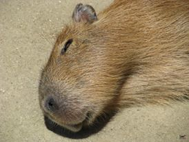 Adorable young Nina,dreaming. 7 months old, and a male capybara. He will stay at the Bio Park until he is about a year old and then go off to become a breeding male at another zoo.    愛らしい若いニーナ。七ヶ月。カピバラ男性。彼が1歳に達するまで、私はバイオパークに滞在。成人男性のカピバラの戦い。 彼らは別の筐体に移動する必要があります。 彼は別の動物園で1日ボスカピバラ意志