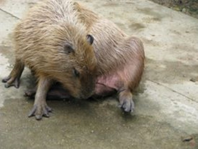 """Maple Eating her Cecotropes. For more information about capybaras eating their cecotropes please see my blog """"What should I feed my pet capybara?"""""""