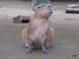 Adorable young Nina, 7 months old, and a male capybara. He will stay at the Bio Park until he is about a year old and then go off to become a breeding male at another zoo.    愛らしい若いニーナ。七ヶ月。カピバラ男性。彼が1歳に達するまで、私はバイオパークに滞在。成人男性のカピバラの戦い。 彼らは別の筐体に移動する必要があります。 彼は別の動物園で1日ボスカピバラ意志