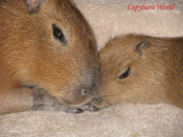 Romeo and Tuff'n have each other for company. Capybara who is bonded with a human will suffer a great deal of stress, trying to understand human behaviour. Every time the human leaves the home the capybara will experience extreme separation anxiety. Nobody who loves animals would want to put an animal through that