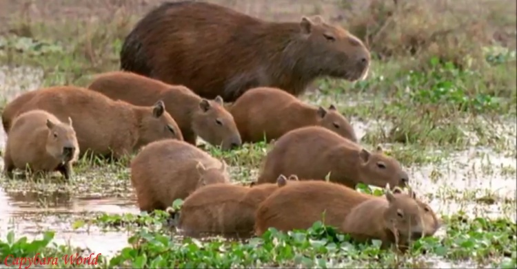 SnapShot(17) JPEG WN capybaras in the wild