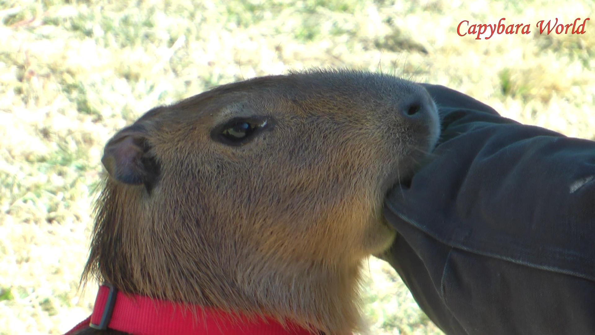 A Pet Capybara Should I Have One Capybaraworld