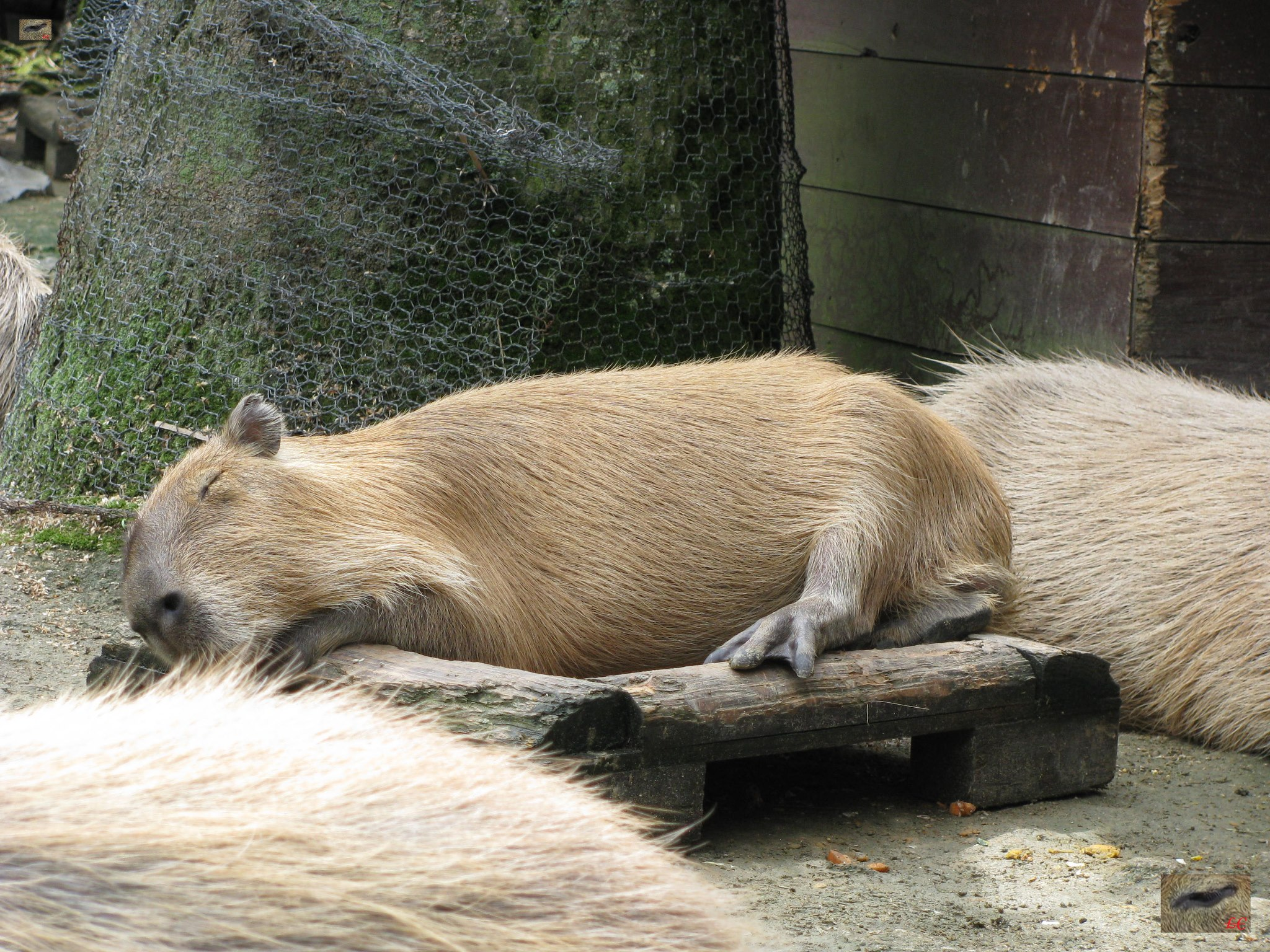 A few minutes later Yusu rolled over and fell off the feeding tray she was sleeping on. I love the way Capybaras like to sit on or sleep in their food trays 数分後Yusuがロールオーバー。 Yusuは、食品トレイから落ちた。 かわいいので - カピバラは、その食品トレーで寝るのが好き
