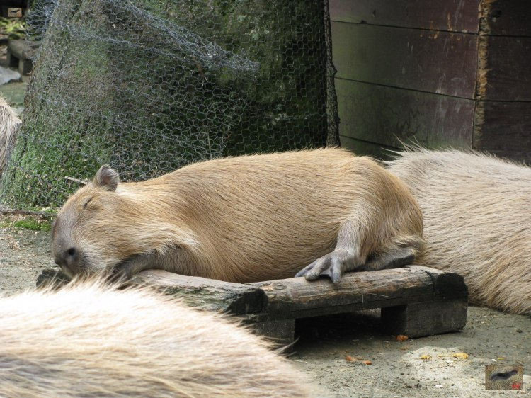 A few minutes later Yusu rolled over and fell off the feeding tray she was sleeping on. I love the way Capybaras like to sit on or sleep in their food trays 数分後Yusuがロールオーバー。 Yusuは、食品トレイから落ちた。 かわいいので - カピバラは、その食品トレーで寝るのが好き