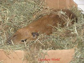 Tuff'n Asleep on his Bale of Hay