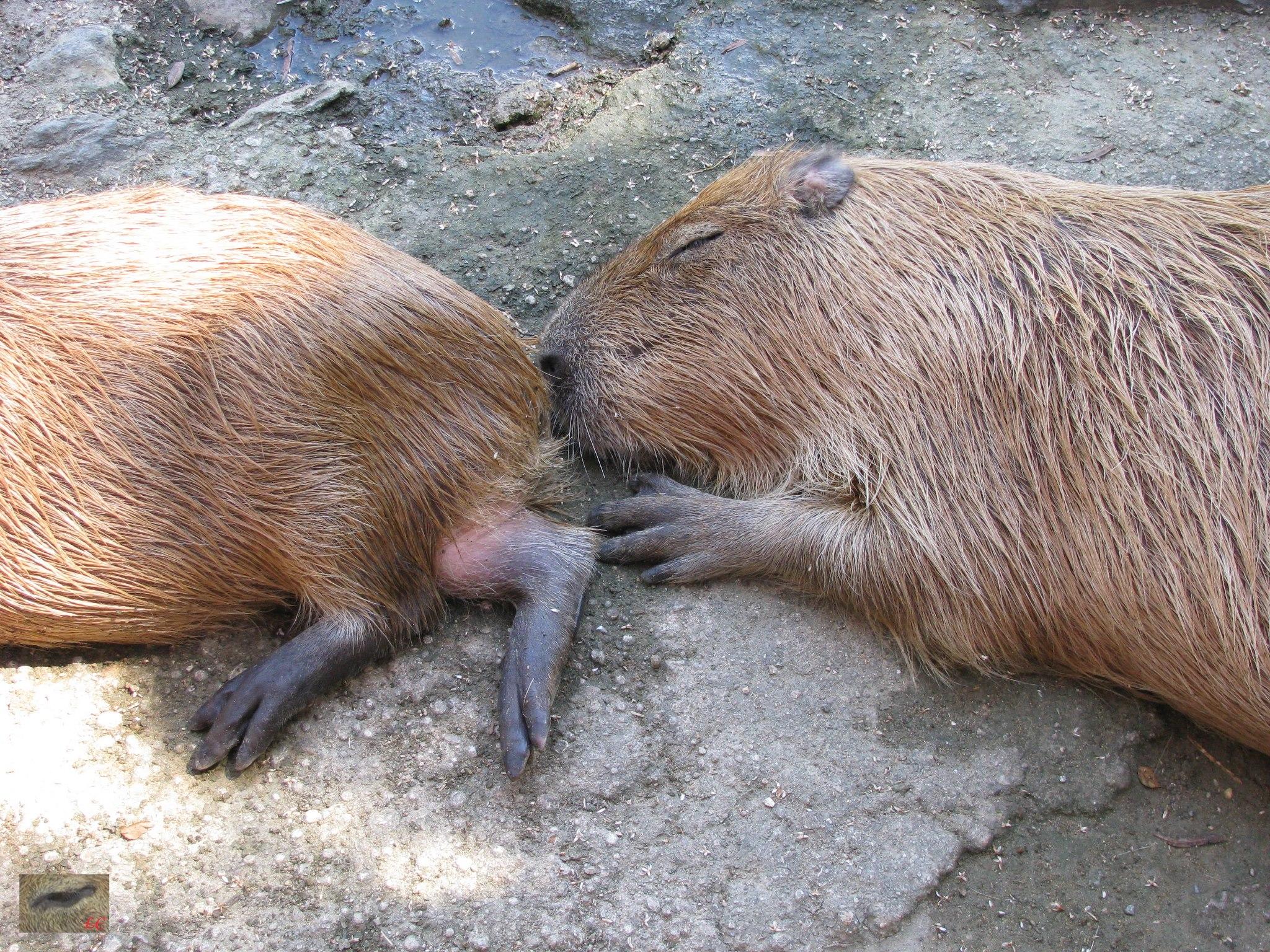 Yuzu and Zabon usually stayed close together. Very often sleeping nose to tail with one capybara nose in the other capybaras bottom ゆずとZabonは通常、近くに一緒に泊まりました。非常に多くの場合テールに鼻を眠っています。他のカピバラの底に1カピバラの鼻