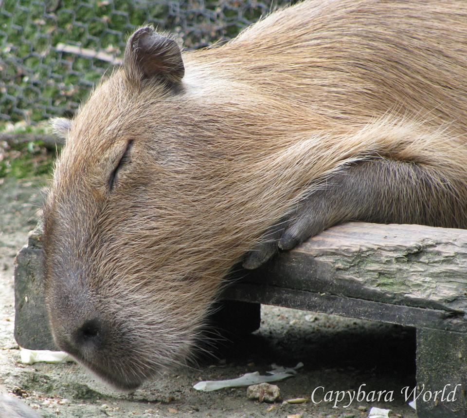 Zabon Sleeping!     Zabon   眠れる!