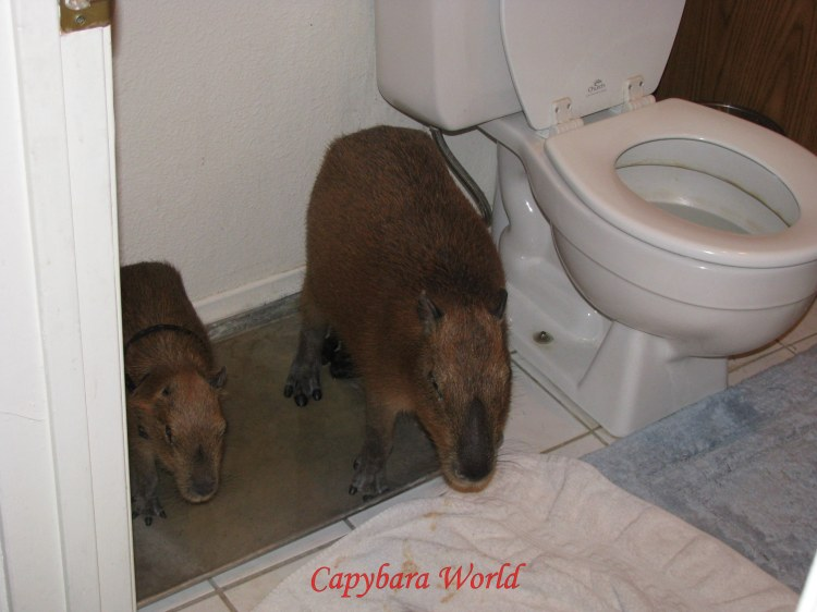 Romeo and Tuff'n in the Bathroom doing their 'Potty' routine! They usually like to go together.