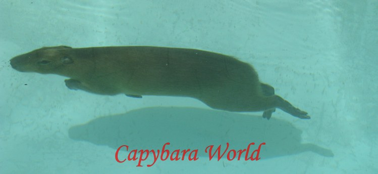 Capybaras Are Semi Aquatic and Must Have a Large Pool or Pond in Which to Swim. . Romeo swimming in his pool, so graceful and swift