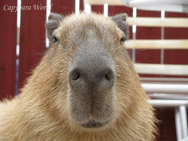 A very special capybara. I wish all humans were as thoughtful and loving as Romeo.