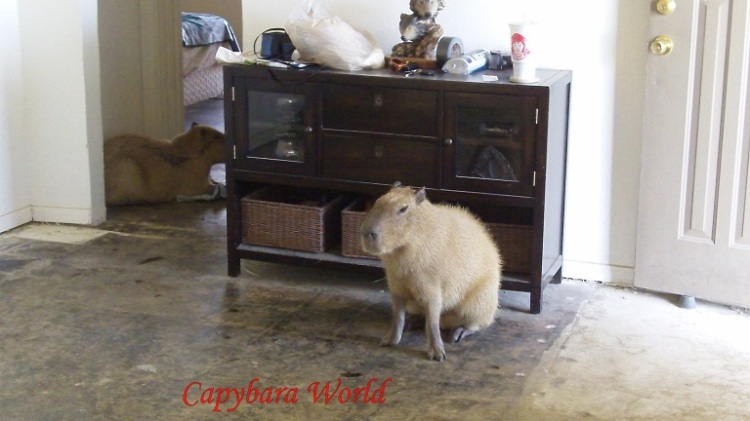 All the carpets have been removed as capybaras like to mark their territory, mostly with urine that occasionally with faeces. Most of the furniture have been removed to protect the capybaras.