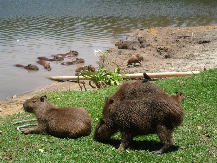 Capybaras at Telêmaco Borba, in the state of Paraná in the Southern Region of Brazil.  In the Wild a Capybara Would Never Be on Its Own. They are incredibly social animals and very playful, they love to interact with each other.  Photo by Luciana Nakai