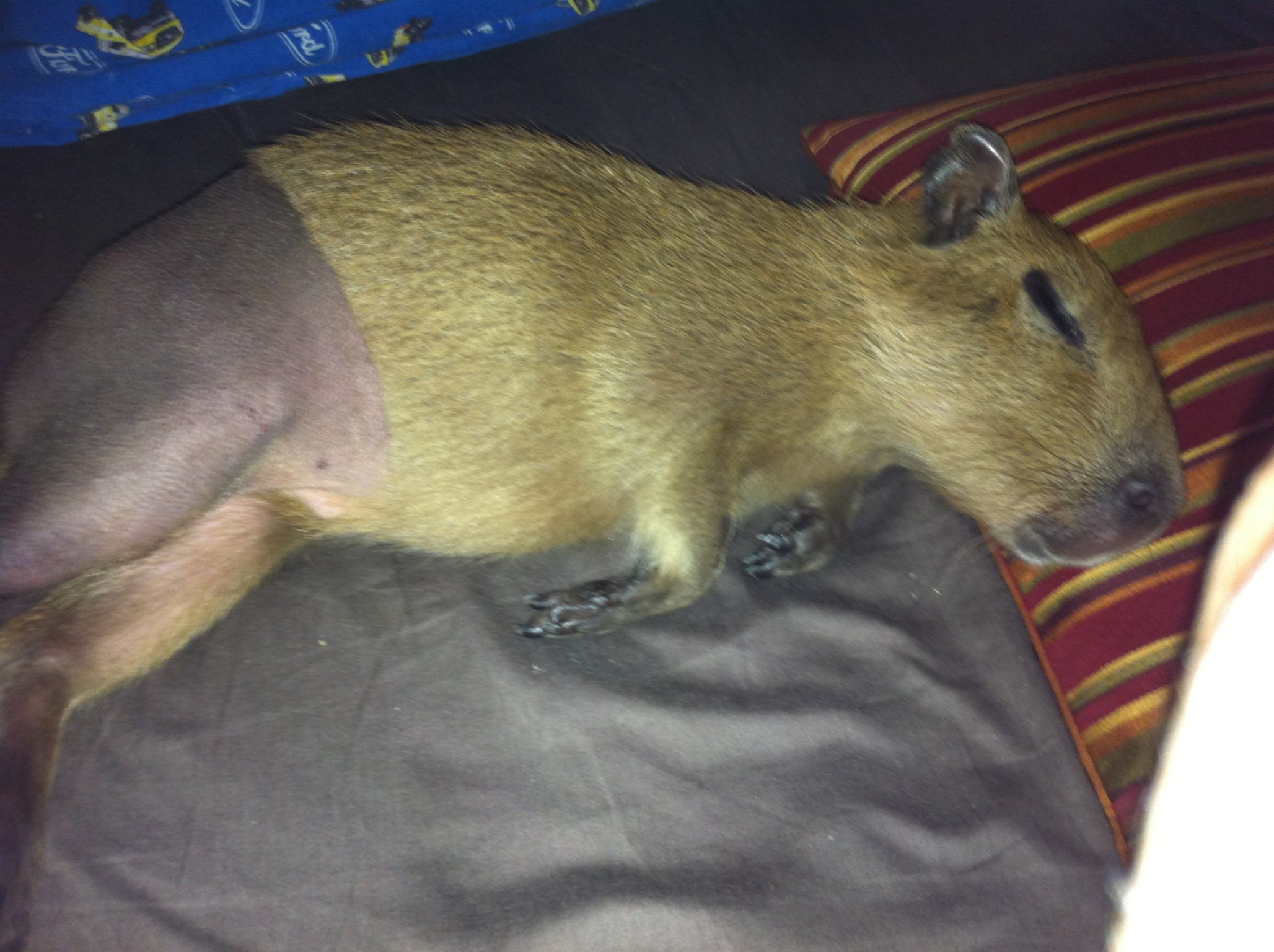 Capybaras as Pets: Prepare Your Home For A Pet Capybara ...