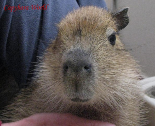 Possibly the Cutest Capybara in the World. Little Tuff'n, Aged about Three Months. He lost his eye and part of his ear in an horrendous, mystery accident shortly after he was born and before his breeder found him. Amazingly it didn't seem to affect him at all, he was as playful and hungry as the other baby capybaras, and nowadays he is completely fearless and very mischievous.