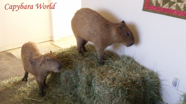 The furniture in the living room has been removed and replaced with bales of Hay for the capybaras to eat. The carpets have also been removed. Capybaras are wild animals whose behaviour patterns are not suitable for a typical family home.