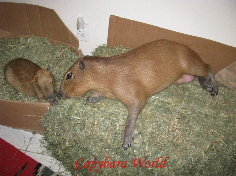 Romeo and Tuff'n on their bales of hay. Romeo and Tuff'n never eat the furnishings. If they want something to chew on there is always hay and guinea pig pellets, available 24/7 and along with grass the best possible things they could eat