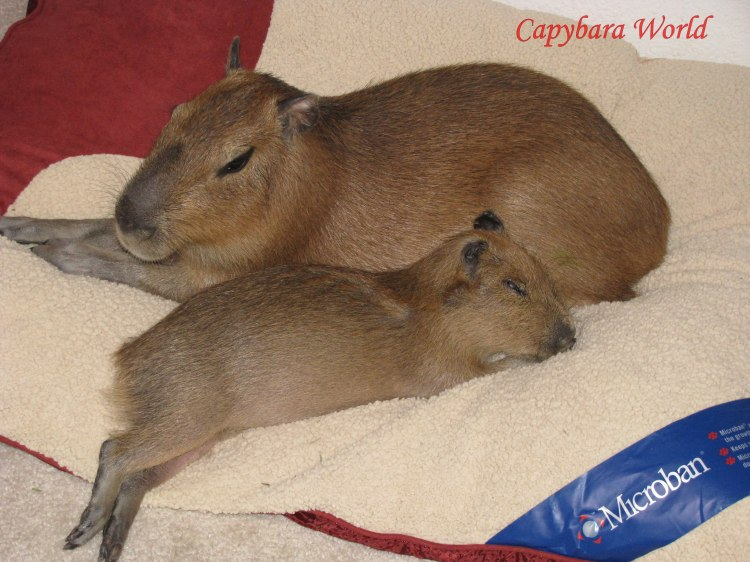 This photo was taken in March 2013 before the carpets were removed. As the capybaras get older their innate behaviour patterns dictate their need to mark their territory. Mostly this is with urine but occasionally with faeces. Romeo with Tuff'n Sleeping on his Cushion in the Living Room