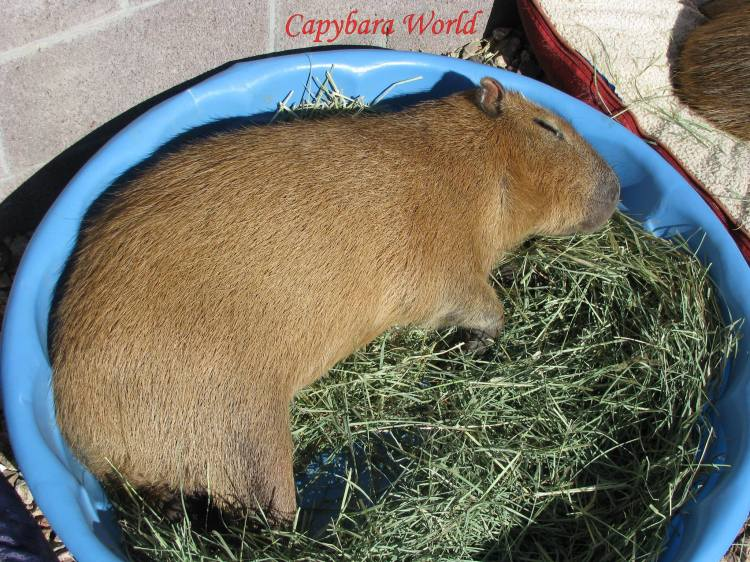 Romeo dreaming on his bed of hay