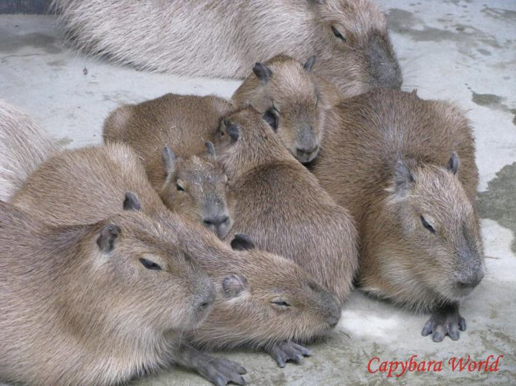 No Capybara Should Ever Have To Sleep Alone.   Snuggling and sheltering from the rain. When each baby arrives she tries to push into the middle of the group for maximum warmth!, Jostling and waking up all the others. Hinase's babies, Aoba and Butter at Nagasaki BIO PARK