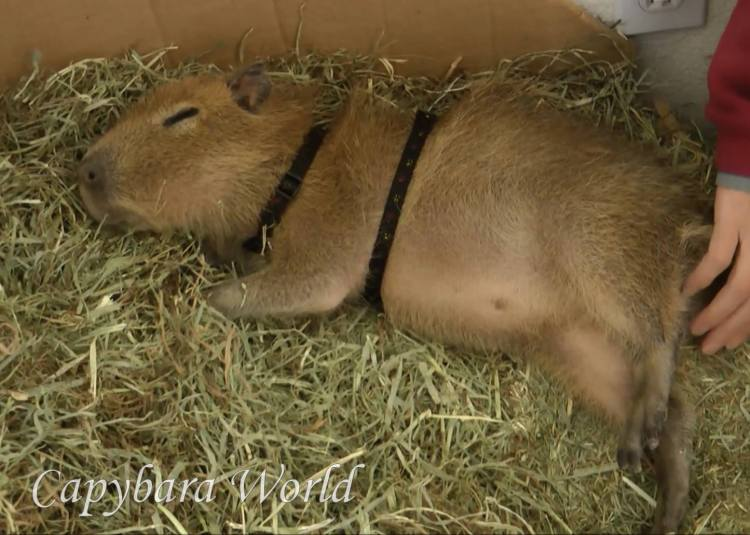 Little Tuff'n sleeping on his bed of hay